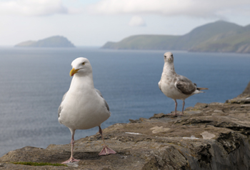 Sea Gulls on Slea Head Drive