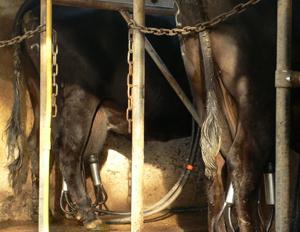 slave in cow milking